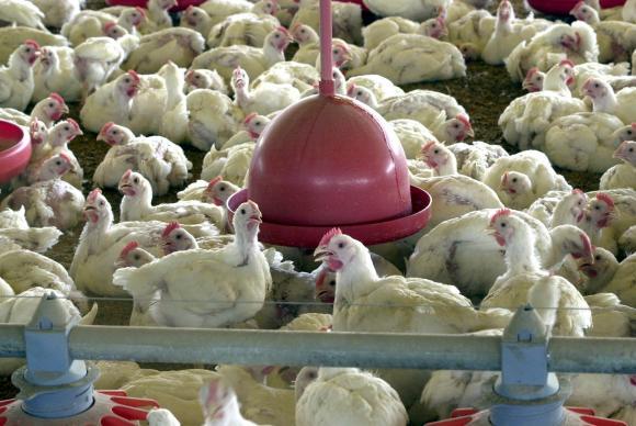 Ministério da Agricultura diz que não há risco no consumo de aves no país após deflaragação da 3ª fase da Operação Carne Fraca Foto: Arquivo/Agência Brasil