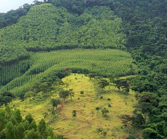 A produção de florestas renováveis de eucalipto, tem como base uma sólida parceria com a Cenibra