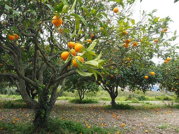 orange-tree-1117420_640 (1)