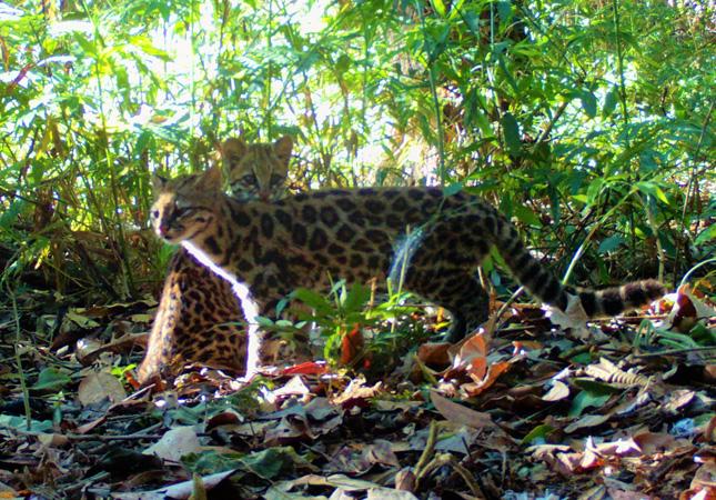 Casal de gato-do-mato-pequeno (Leopardus guttulus) registrado na RPPN Fazenda Macedônia pelo empregado Roney Assis Souza, biólogo e analista ambiental do Departamento de Meio Ambiente e Qualidade