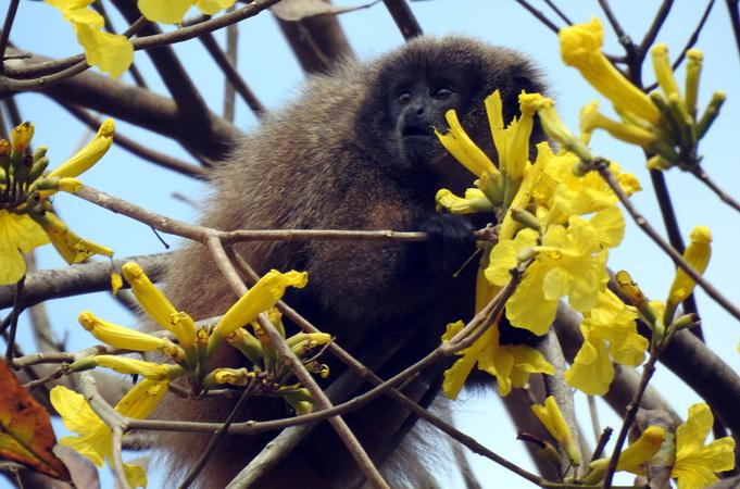 O Macaco-sauá é uma das espécies encontradas nas terras da CENIBRA