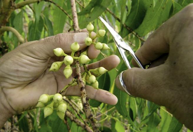 No Viveiro Florestal da CENIBRA, técnicas modernas de produção de mudas de eucalipto por clonagem são colocadas em prática