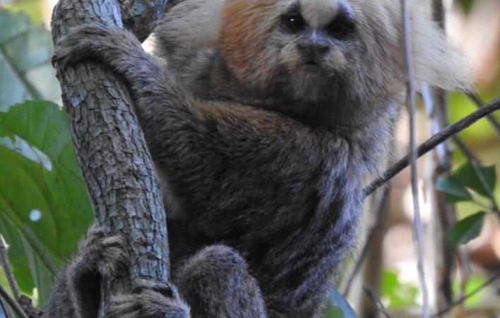 São vários os primatas com risco de extinção